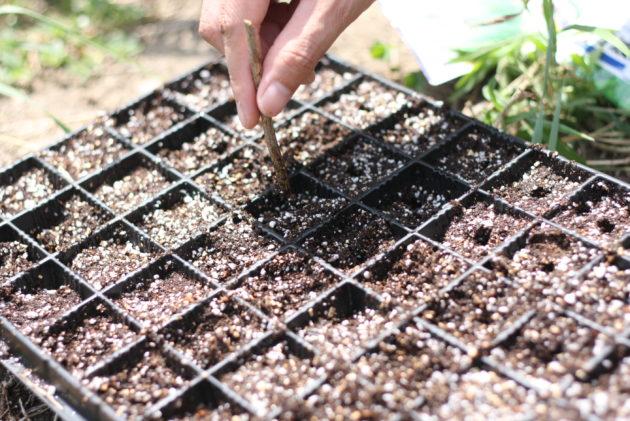 芽キャベツのための苗作り