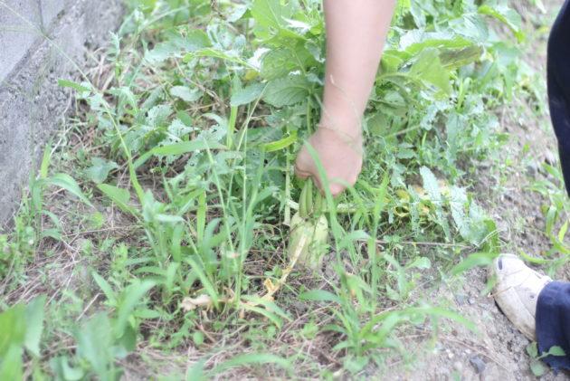 春大根を収穫する様子